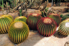 Ball-shaped cacti Royalty Free Stock Photography