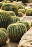 Ball shaped cacti Royalty Free Stock Photography