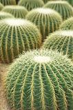 Ball shaped cactuses Stock Photography