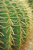 Ball shaped cactuses Royalty Free Stock Photography