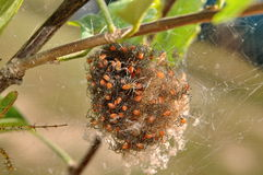 Ball of spiders. Green lynx spiders emerging from cacoom royalty free stock images