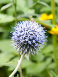 Ball thistle. A blooming purple ball thistle Stock Images