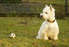 Ball and westie Royalty Free Stock Images