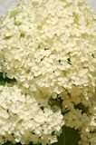 Ball of white blossoms. One big ball of white blossoms Stock Image