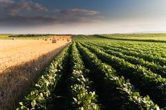 Balla di grano nel campo Immagine Stock Libera da Diritti