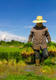 Balla di trasporto di riso Fotografie Stock