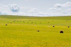 Balla nel paesaggio della prateria di Mongolia Interna Hulun Buir Fotografie Stock Libere da Diritti