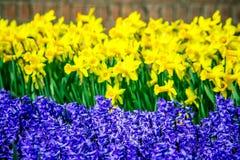 Ballade tulipany od Holandia obraz royalty free