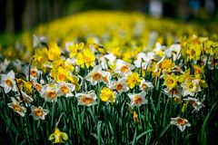 Ballade tulipany od Holandia Zdjęcia Stock