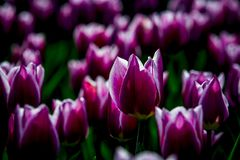 Ballade tulips from Holland Royalty Free Stock Images