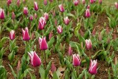 Ballade variety tulips field Royalty Free Stock Photo