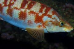 Ballan濑鱼(Labrus bergylta) 免版税图库摄影