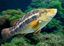 Ballan wrasse 2 Royalty Free Stock Photo