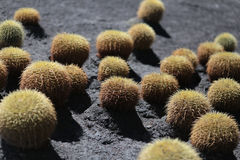 Ballcactuses Echinocactus arkivfoton