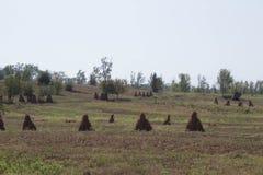 Balle dei semi su un campo dell'azienda agricola Campo agricolo con cereale Immagine Stock Libera da Diritti