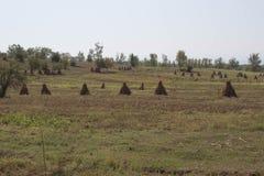 Balle dei semi su un campo dell'azienda agricola Campo agricolo con cereale Immagine Stock