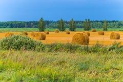 Balle dell'oro di paglia con le betulle lungo il bordo del campo contro il cielo blu Fotografia Stock Libera da Diritti