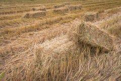 Balle della paglia sul giacimento del riso Immagine Stock