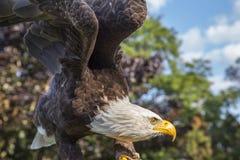 Balle Eagle Photo libre de droits