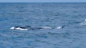 Ballena azul que mira en Sri Lanka Fotos de archivo