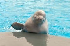 Ballena blanca de la beluga Fotografía de archivo