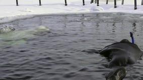 Ballena blanca y buceador del tiroteo único subacuáticos en hielo del mar blanco metrajes