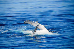 Ballena de Humpback en la bahía de Hervey, Australi imágenes de archivo libres de regalías