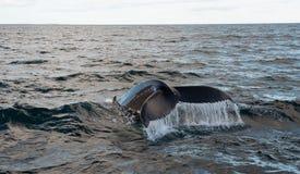 Ballena de Humpback (novaeangliae del Megaptera) Fotografía de archivo