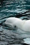 Ballena de la beluga Fotos de archivo