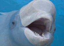 Ballena de la beluga Fotografía de archivo