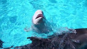 Ballena de la beluga almacen de video