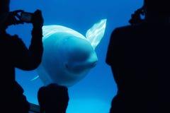 Ballena de la beluga con los turistas Fotografía de archivo