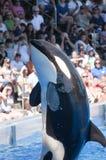 Ballena de la orca Fotos de archivo libres de regalías