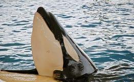 Ballena de la orca imagen de archivo libre de regalías