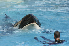 Ballena de la orca con el instructor Foto de archivo libre de regalías