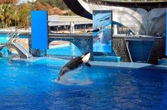 Ballena de la orca del asesino que salta con el amaestrador Imagen de archivo