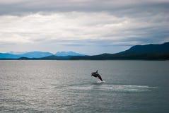 Ballena de la orca que salta en agua imagen de archivo