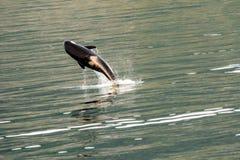 Ballena de la orca que salta para la diversión imagenes de archivo