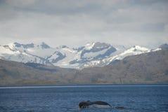 Ballena en el Estrecho de Magallanes foto de archivo