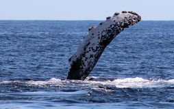 Ballena en la opinión excelente de Los Cabos México de la familia de ballenas en el Océano Pacífico fotografía de archivo