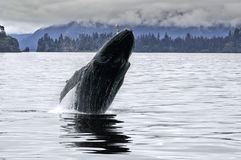 Ballena grande que viola en el océano de Alaska imágenes de archivo libres de regalías
