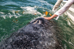 Ballena gris que se acerca a un barco Fotos de archivo