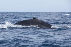 Ballena jorobada en la superficie del océano Imagenes de archivo