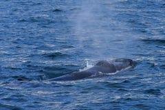 Ballena jorobada que nada de la costa de Islandia Imagen de archivo