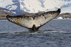 Ballena jorobada que se zambulle en las aguas antárticas con los rais Imagenes de archivo