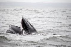 Alimentación de la ballena Foto de archivo libre de regalías