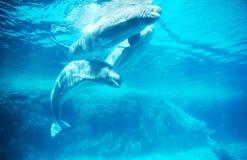Ballenas árticas de la beluga Imágenes de archivo libres de regalías