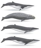 ballenas Fotografía de archivo libre de regalías