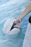 Ballenas blancas de la alimentación imagen de archivo