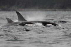 Ballenas de asesino de la orca Fotografía de archivo libre de regalías